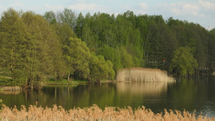 Jezioro Pławniowickie, okolice Niewiesza, trzciny.